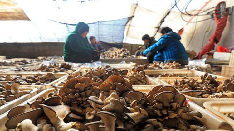 河北滦南:食用菌采摘忙