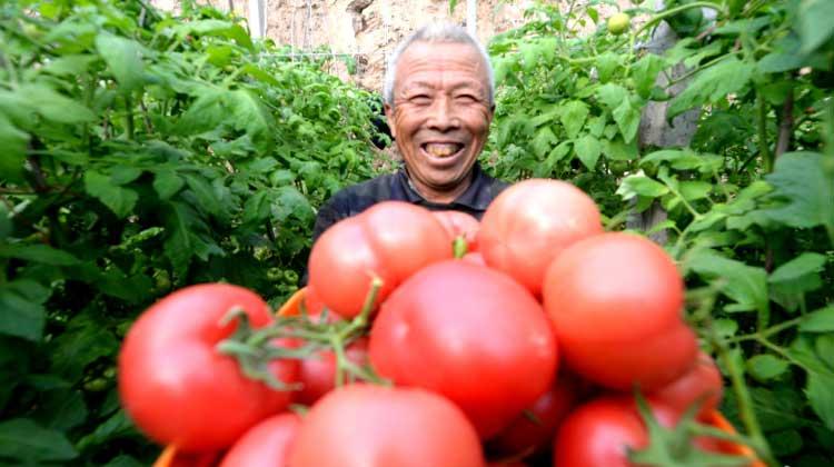 河北威县:设施蔬菜助推乡村产业兴旺